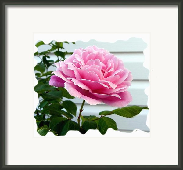 Royal Kate Rose Framed Print By Will Borden