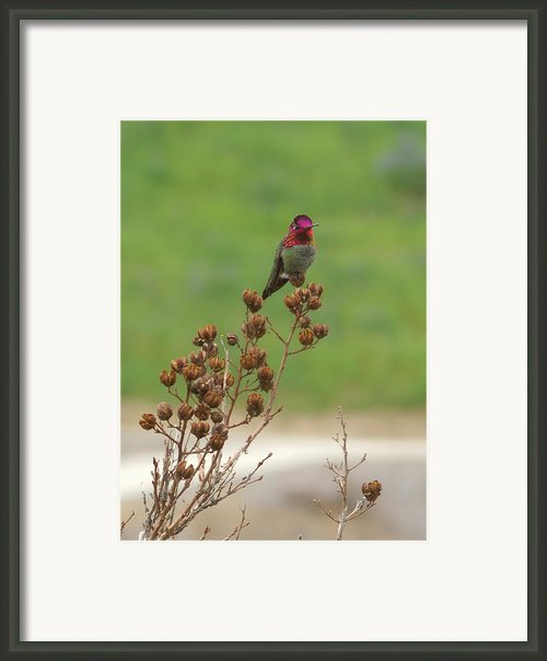 Ruby Framed Print By Donna Blackhall