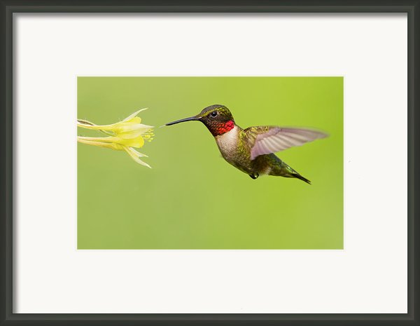 Ruby-throated Hummingbird Framed Print By Mircea Costina Photography