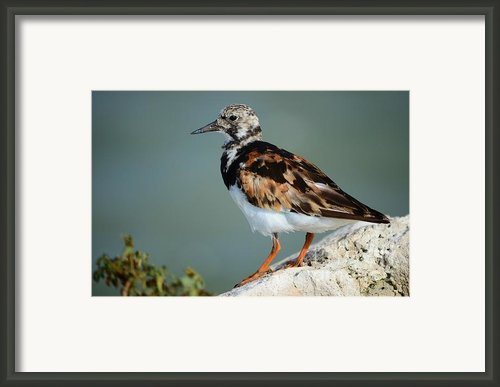 Ruddy Turnstone Framed Print By Lynda Dawson-youngclaus
