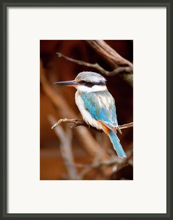 Sacred Kingfisher Framed Print By Mike  Dawson