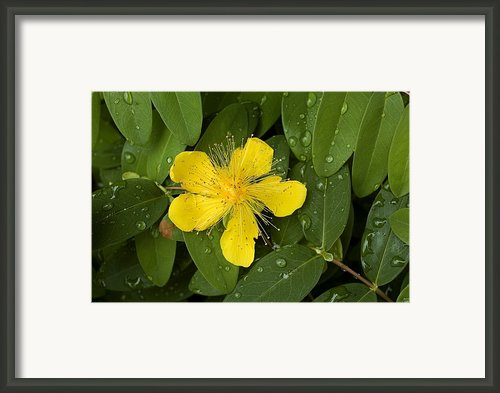 Saint Johns Wort Flower And Foliage Framed Print By Todd Gipstein