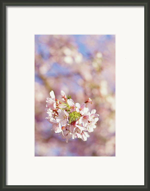 Sakura, Pink Cherry Blossom Tree Framed Print By Bonita Cooke
