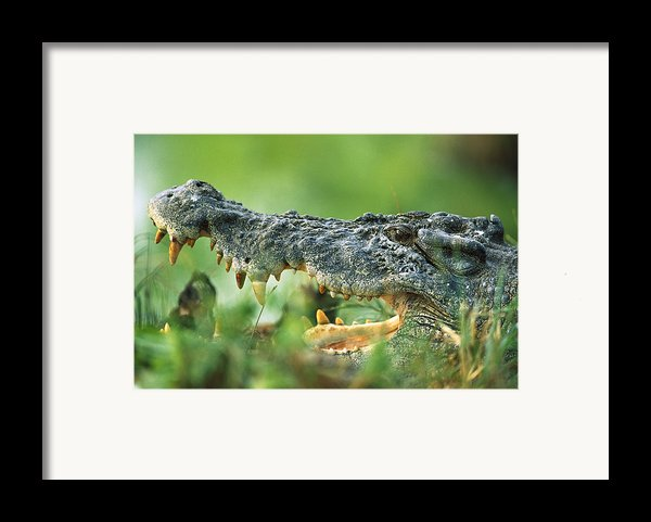 Saltwater Crocodile Crocodylus Porosus Framed Print By Cyril Ruoso