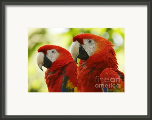 Scarlet Macaws Couple Framed Print By Juan Carlos Vindas