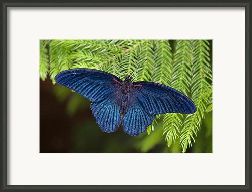 Scarlet Swallowtail Framed Print By Joann Vitali