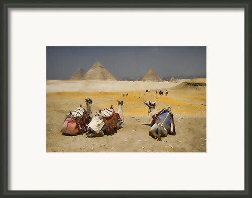 Scenic View Of The Giza Pyramids With Sitting Camels Framed Print By David Smith