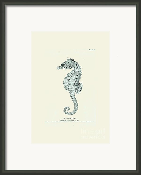 Sea Horse  Framed Print By Patruschka Hetterschij