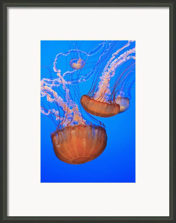Sea Nettles Chrysaora Fuscescens In Framed Print By Stuart Westmorland