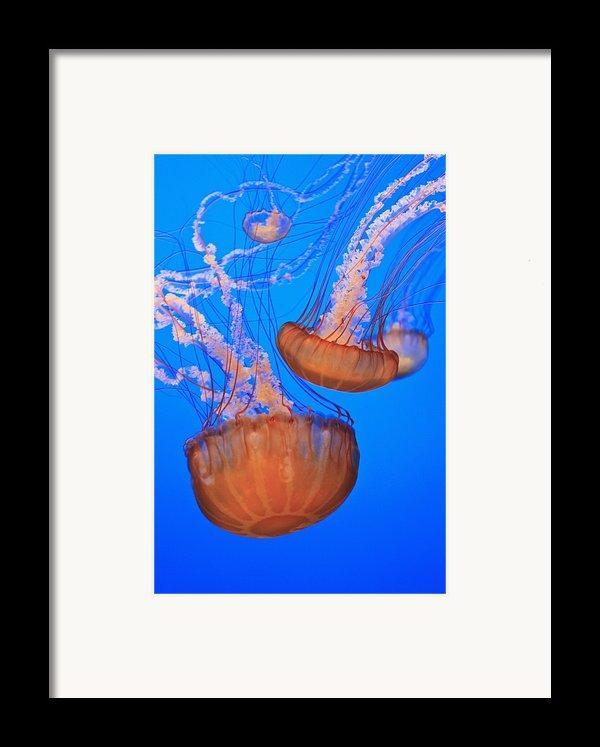 Sea Nettles Chrysaora Fuscescens In Framed Print By Stuart Westmorland
