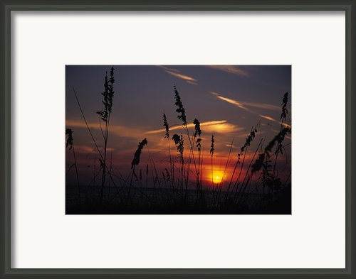 Sea Oats Blow In The Breeze As The Sun Framed Print By Stacy Gold