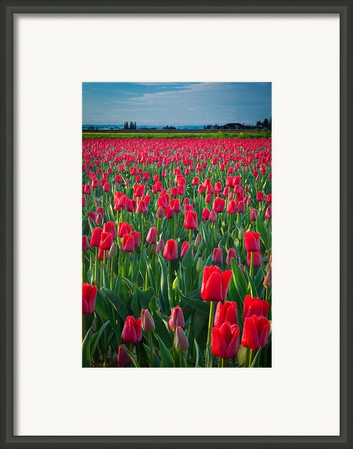 Sea Of Red Tulips Framed Print By Inge Johnsson