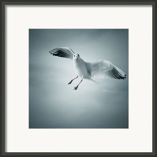 Seagull Flying Framed Print By Arnaud Bertrande Photographie