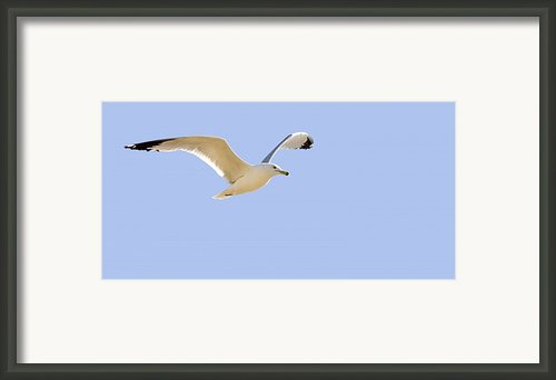 Seagull In Flight Framed Print By Don Hammond