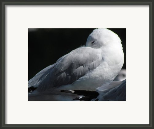 Seagull Sleeping Framed Print By France Laliberte