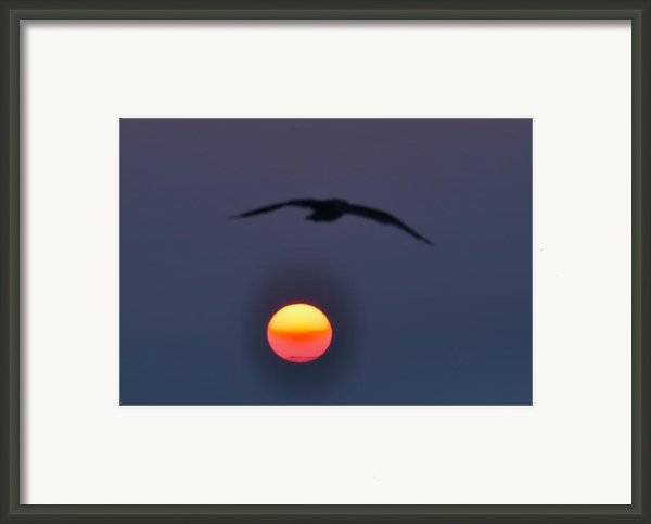 Seagull Sun Framed Print By Bill Cannon