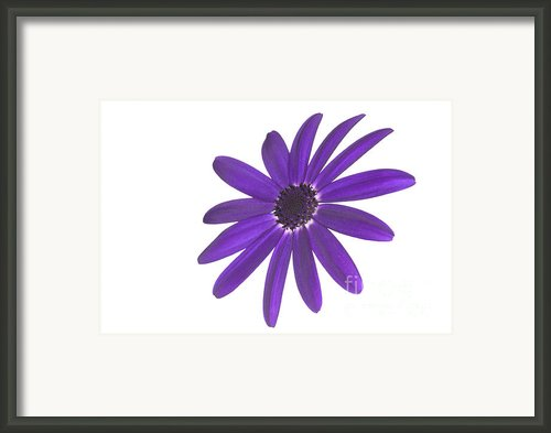 Senetti Deep Blue Head Framed Print By Richard Thomas