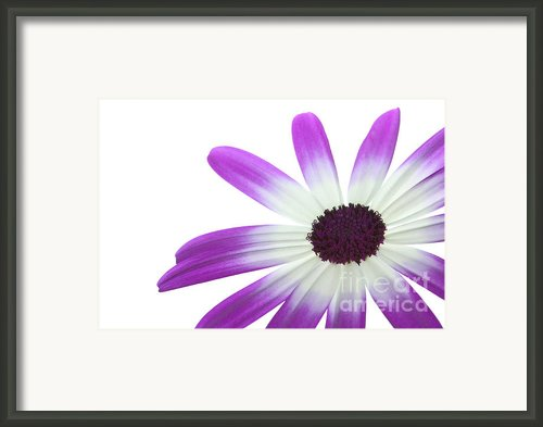 Senetti Magenta Bi-color Lower Right Framed Print By Richard Thomas