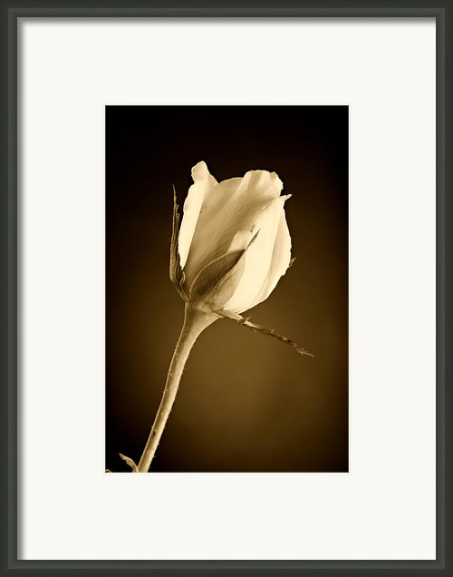 Sepia Rose Bud Framed Print By M K  Miller