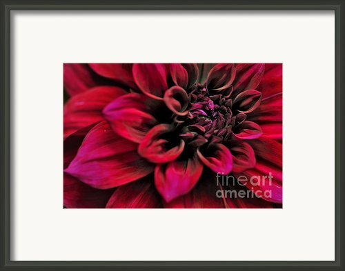 Shades Of Red - Dahlia Framed Print By Kaye Menner