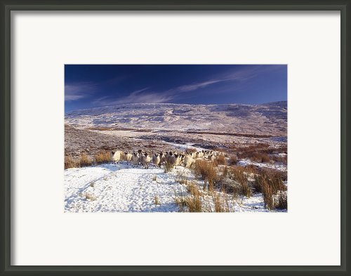 Sheep In Snow, Glenshane, Co Derry Framed Print By The Irish Image Collection