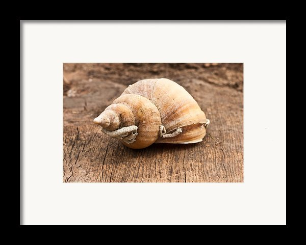 Shell Framed Print By Tom Gowanlock