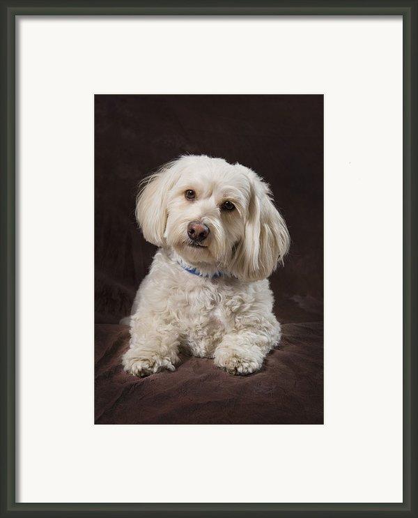 Shih Tzu-poodle On A Brown Muslin Framed Print By Corey Hochachka