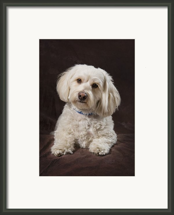 Shih Tzu-poodle On A Brown Muslin Framed Print By Corey Hochachka