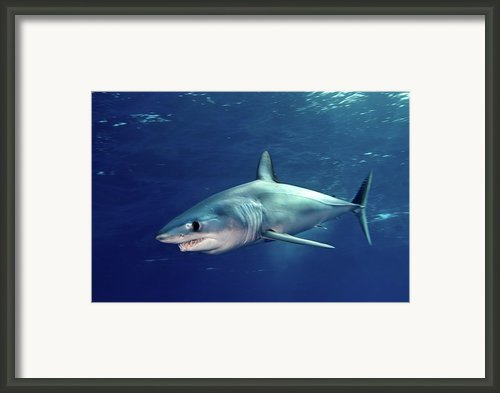 Shortfin Mako Sharks Framed Print By James R.d. Scott