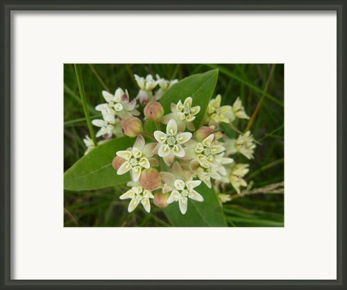 Showy Milkweed Framed Print By Estephy Sabin Figueroa