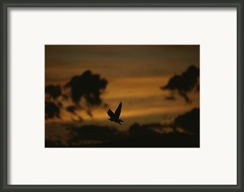 Silhouette Of A Red-tailed Hawk Framed Print By Joel Sartore