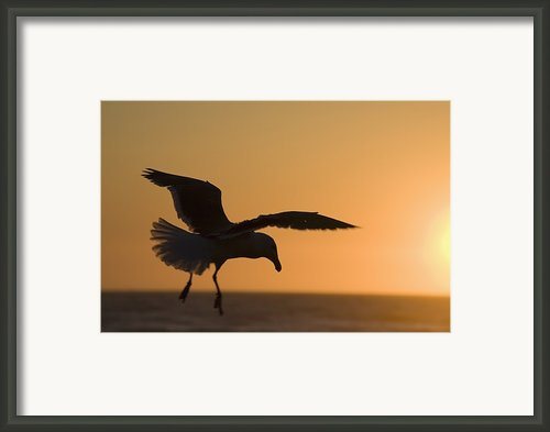Silhouette Of A Seagull In Flight At Framed Print By Michael Interisano