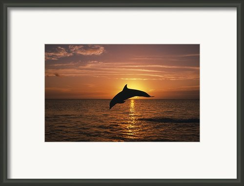 Silhouette Of Leaping Bottlenose Framed Print By Natural Selection Craig Tuttle