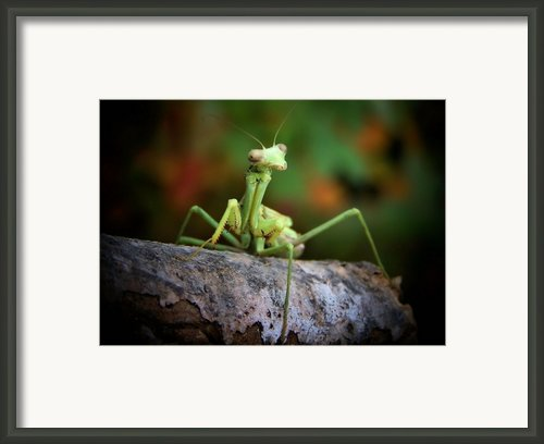 Silly Mantis Framed Print By Karen M Scovill