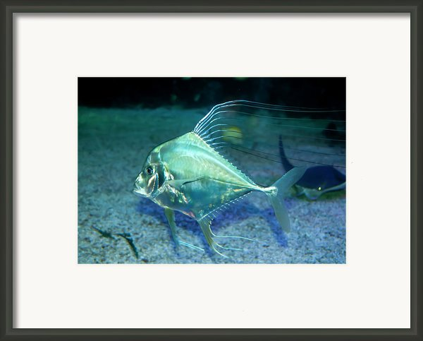 Silver Fish Framed Print By Svetlana Sewell