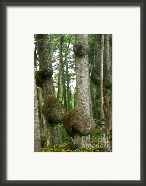 Sitka Spruce Burls On The Olympic Coast Olympic National Park Wa Framed Print By Christine Till