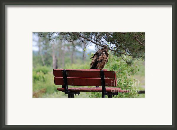Sitting Eagle Framed Print By Whispering Feather Gallery