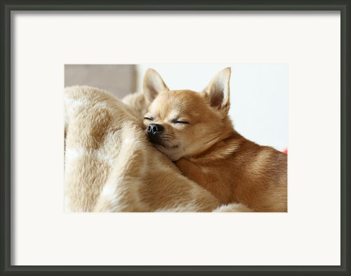 Sleeping Chihuahua Framed Print By Tomoaki Takahashi