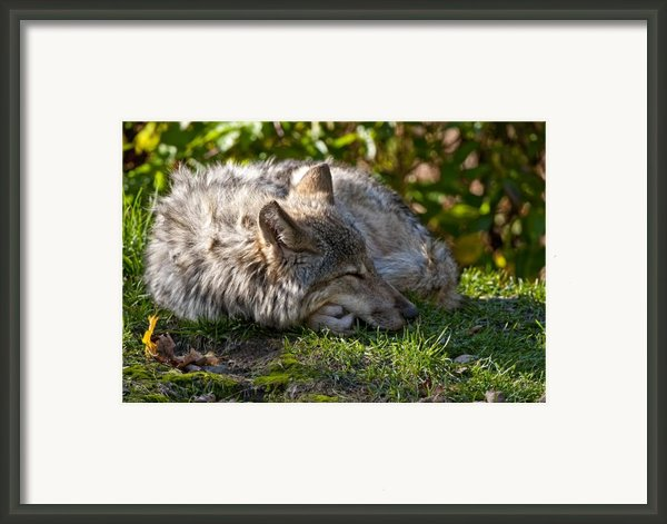 Sleeping Timber Wolf Framed Print By Michael Cummings