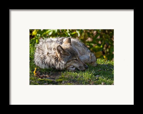 Sleeping Timber Wolf Framed Print By Michael Cummings