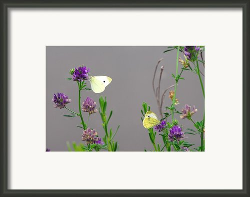 Small Butterflies Sipping Flower Nectar Framed Print By Anne Keiser