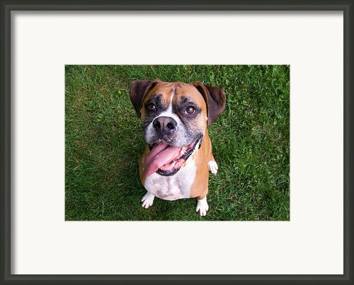 Smiling Boxer Dog Framed Print By Stephanie Mcdowell