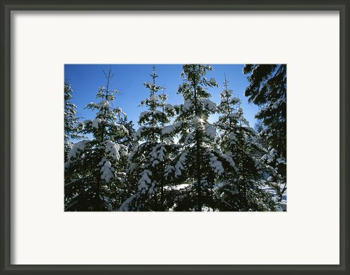 Snow-covered Pine Trees Framed Print By Taylor S. Kennedy