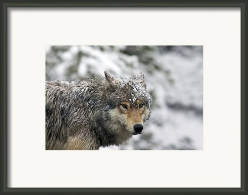 Snowy Grey Wolf Framed Print By Photo By Daryl L. Hunter - The Hole Picture