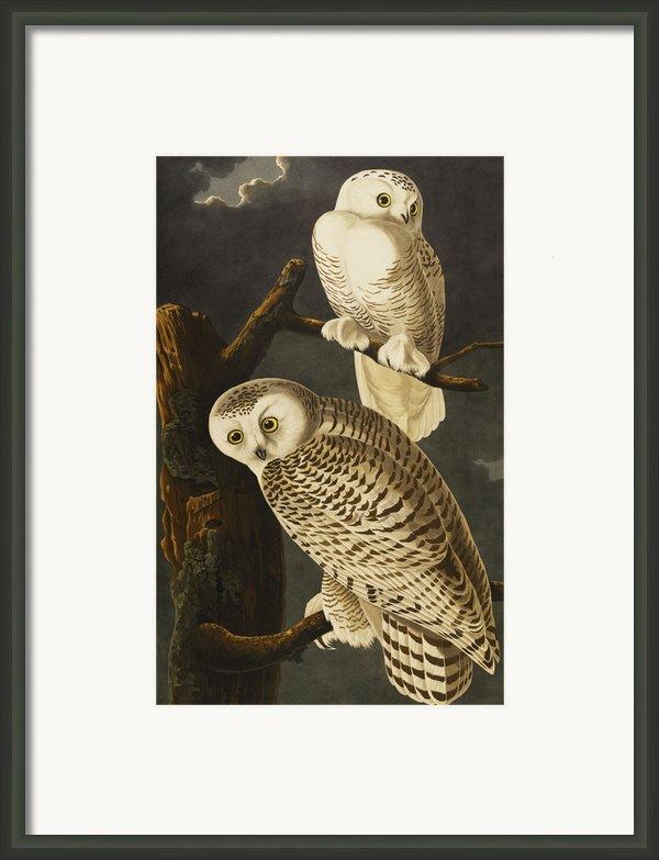 Snowy Owl Framed Print By John James Audubon