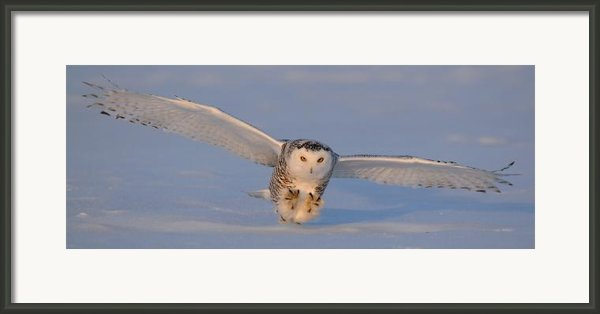 Snowy Owl Last Light Framed Print By Scott  Linstead