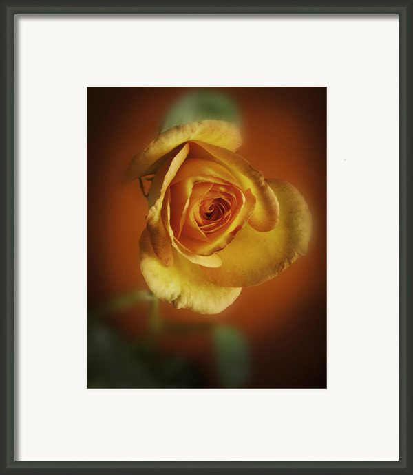 Soft Yellow Rose Orange Background Framed Print By M K  Miller
