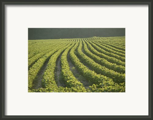 Soybean Crop Ready To Harvest Framed Print By Brian Gordon Green