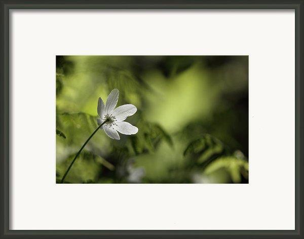 Spring Anemone Framed Print By Intensivelight