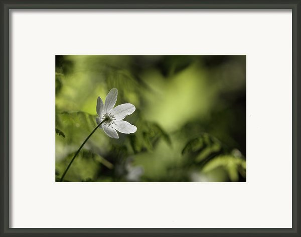 Spring Anemone Framed Print By Intensivelight